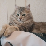 Czarina Sibérien black blottched tabby chez Damman Amur