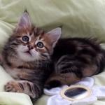 Damman Amur Colette chat Sibérien