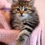 Damman Amur Jungle Kéops chat Sibérien
