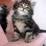 Damman Amur Loustik chat Sibérien