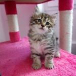 Damman Amur Miel chat Sibérien