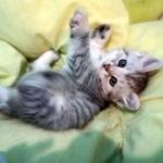 Damman Amur Pastille chat Sibérien