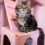 Damman Amur Lucienne chat Sibérien