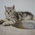 Damman Amur Lancelot chat Sibérien
