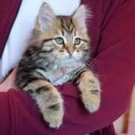 Damman Amur Lev chat Sibérien