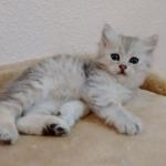 Damman Amur Lia chat Sibérien