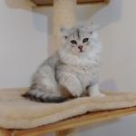 Damman Amur chat Lia Sibérien