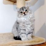 Damman Amur Lucy chat Sibérien