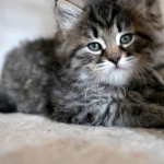 Damman Amur Nessa chaton sibérien brown abby