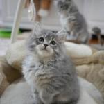 Damman Amur Nabou chaton sibérien blue tabby