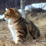 Damman Amur Maximus, habite en Norvège, Sibérien black golden