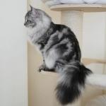 Berstuk Oz chez damman Amur Sibérien black silver blotched tabby