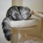 Chat Siberien silver Oz chez Damman Amur.