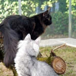 Charisma  5 mois, chaton Sibérien.