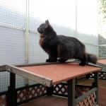 Charisma 5 mois, chat Sibérien.