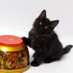 Charisma 2 mois, chat Sibérien.