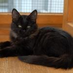 Charisma 3 mois, chat Sibérien.