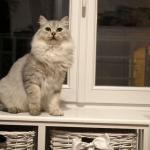 Damman Amur Lia Sibérien black silver spotted tabby
