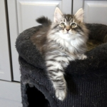 Damman Amur Maladiets black silver spotted tabby