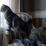 Rossity Irvin Sibérien brown spotted tabby