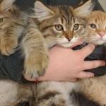 Les chatons d'Ilmen et Lux