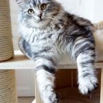 Luna de Somarie chez Damman Amur, chat black silver blotched