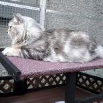 Czarina of Meda Garden chez Damman Amur, chat black silver blotched