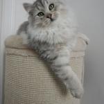 Damman Amur Lia black silver spotted tabby