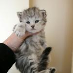 Baby Nymph bébé Sibérien black silver chez Damman Amur