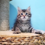 Damman Amur Inigo Inigo, chaton SIbérien brown spotted tabby