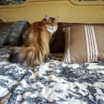 Black golden Sibérien Ilmen SIbaris presque 2 ans, chatterie Damman Amur