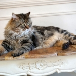 Irvin Rossity 4 ans.Chat Sibérien, n 22 brown classic tabby, chatterie Damman Amur