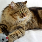 Irvin Rossity 2 ans.Chat Sibérien, n 22 brown classic tabby, chatterie Damman Amur