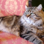 Irvin Rossity 3 ans.Chat Sibérien, n 22 brown classic tabby, chatterie Damman Amur