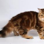 Xaviera 6 mois, chat Sibérien.