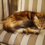 Xaviera 18 mois, chat Sibérien.