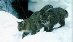 Felis-Silvestris-Caucasia
