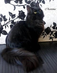 Charisma Onix Gloria, chat Sibérien, noir solide