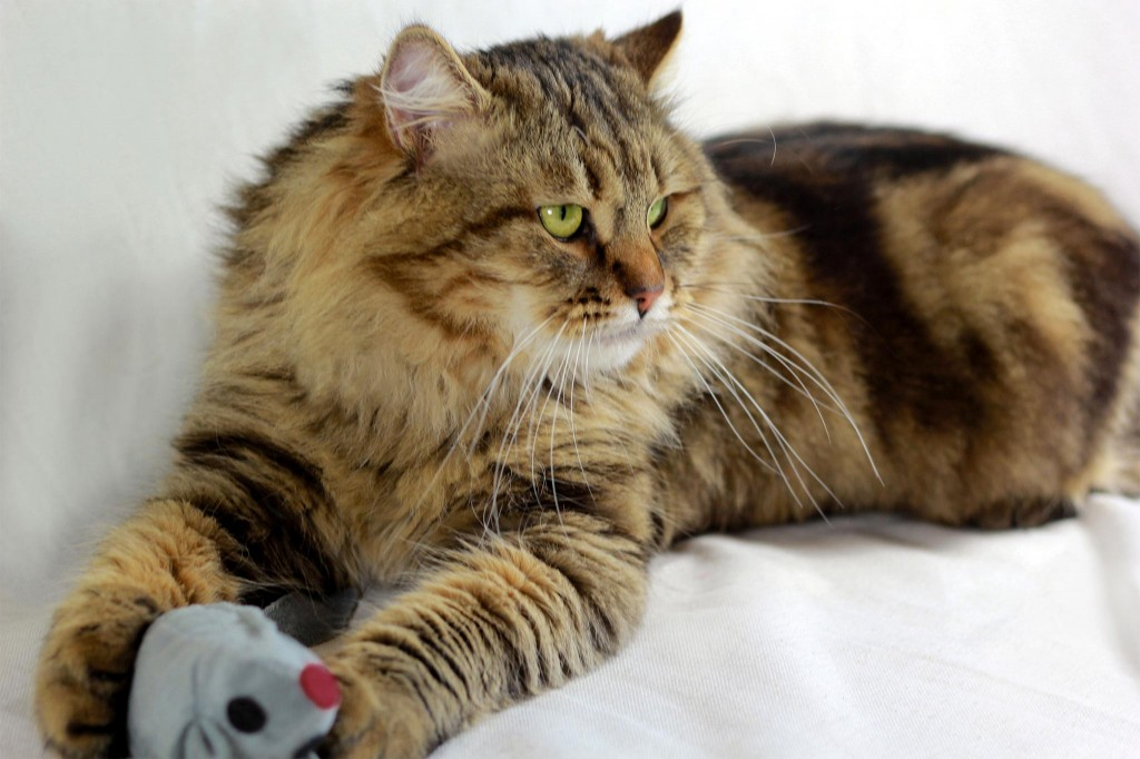 Rossity Irvin, chat Sibérien brown blotched tabby n22
