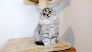 Damman Amur Lucy chat Sibérien silver