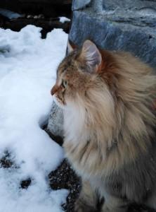 Chat Sibérien brown blotched tabby Damman Amur Paco